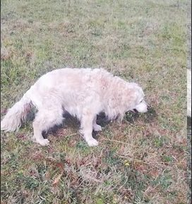 A golden retriever walking and pooping in a field