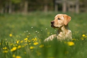 A dog laying in a field surrounded by dandelions