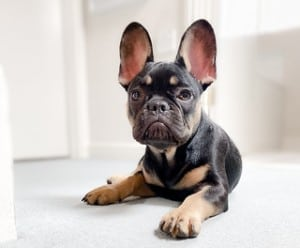 A black and tan french bulldog laying on the floor